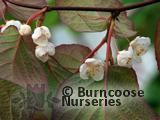 ACTINIDIA   